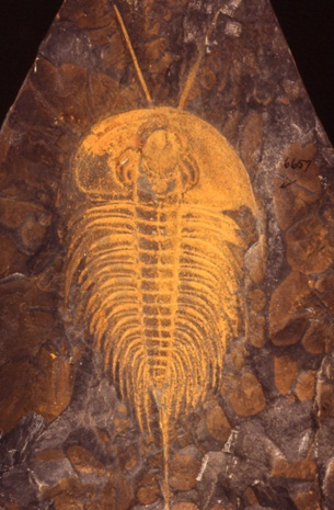 Early Cambrian Trilobite