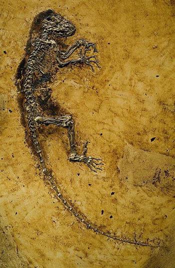 Darwinius masillae fossil
