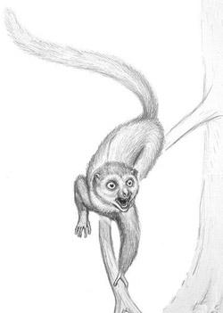 Darwinius illustration