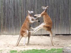 Red Kangaroos, boxing